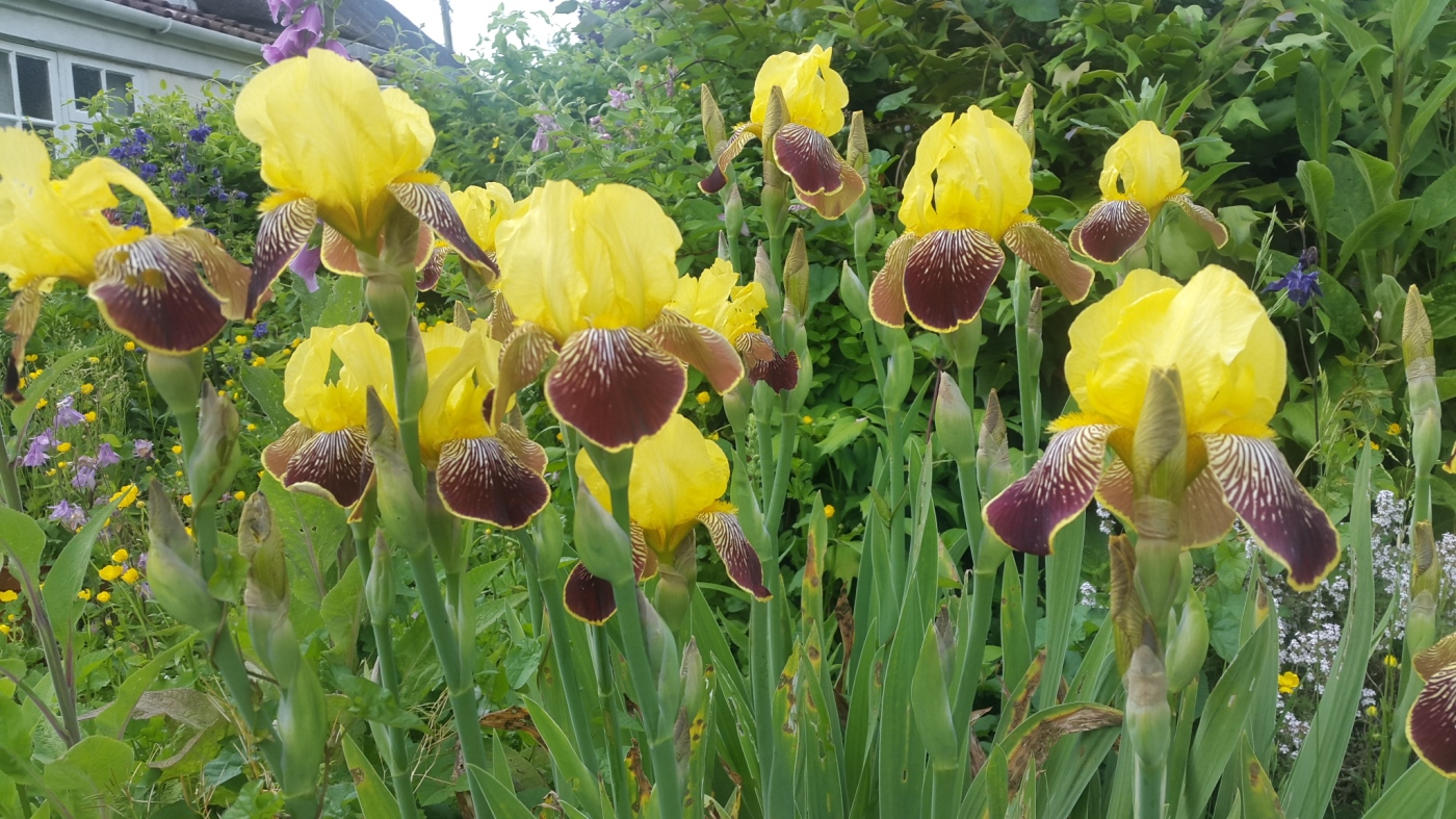 Yellow Iris with brown