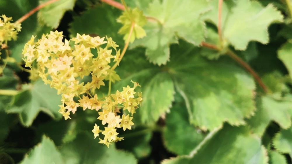 Ladys mantle leaves