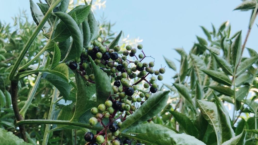 Elderberries, black small berries with a few green unripe berries
