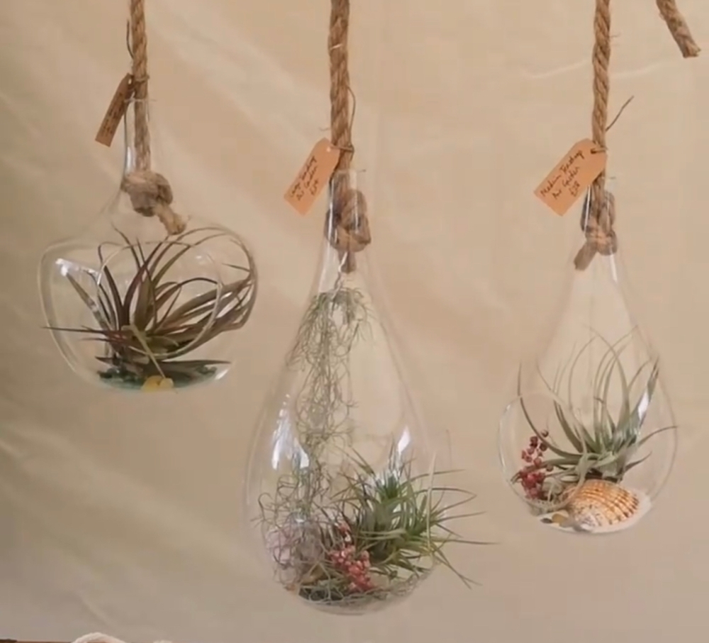 Hanging glass pendant with air plants and shells inside them